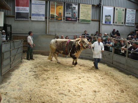 Show Champion Charnwood Eric bred by J.A.Warner sold to Frank Sutton for 3800gns enters the sale ring
