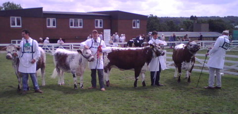 Junior Heifers - Great Yorkshire Show 2007