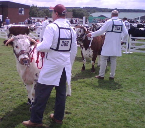 Judging in progress in the Junior Heifer Class - Great Yorkshire Show 2007