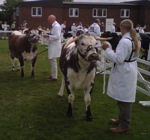 Judging in progress - Senior Heifer Class Great Yorkshire Show 2007