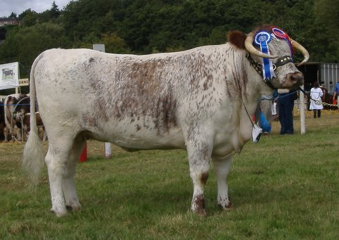 Gorse Lollipop - Reserve Breed & Female Champion Monmouthshire Show 2006