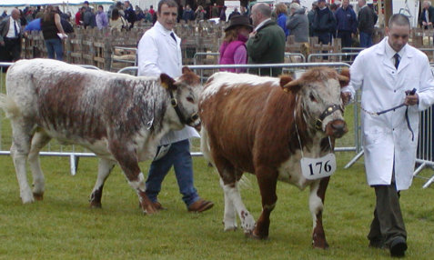 HM Prison Kirkham's Junior Heifers at Northumberland County Show 2007