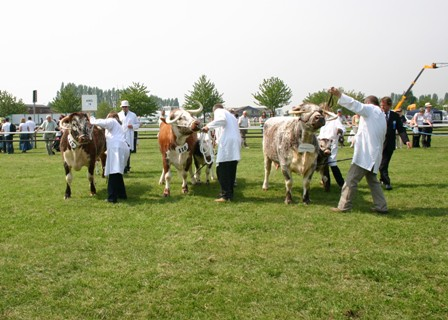 Judging of the cow class