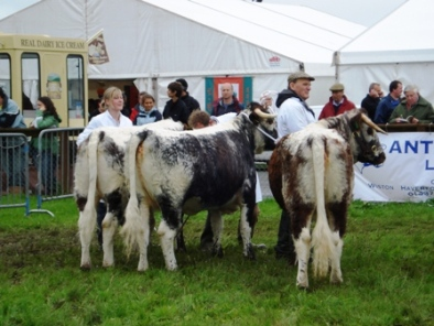 Heifers from Llewellyn, Vaughan and Llewellyn