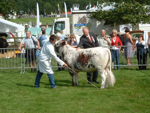 Gorse Primrose, Best Junior Heifer, Burwarton Show 2009