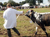 Longhorn at Moorgreen Show