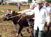 Longhorns at Moorgreen Show
