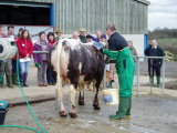 Steve Gray washes a young Blackbrook bull at the 2006 Show Training Day