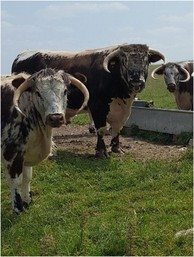 News from 2018 - Longhorn Cattle Society